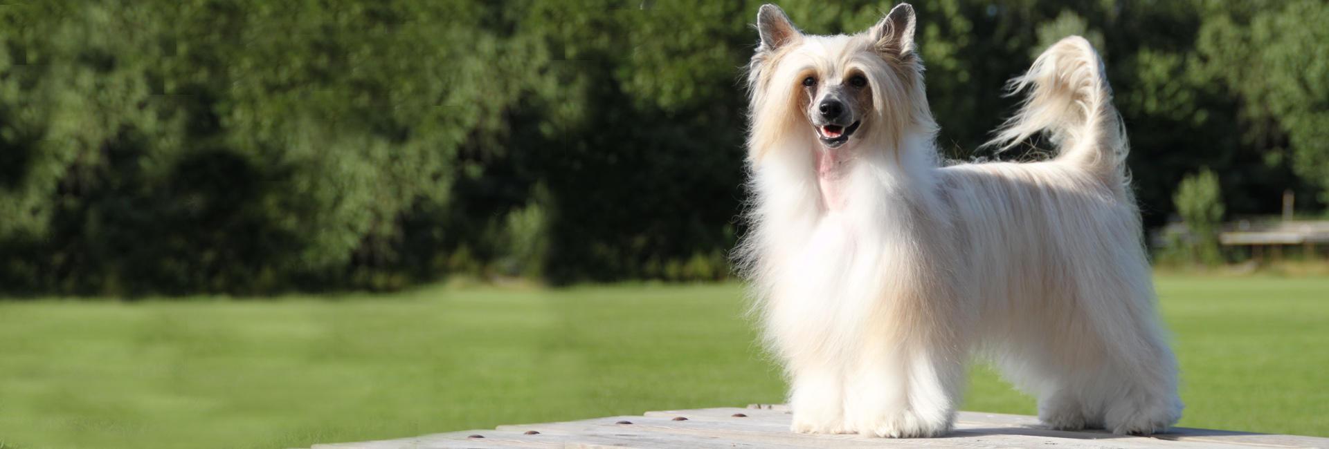 hund kinesisk hårløs