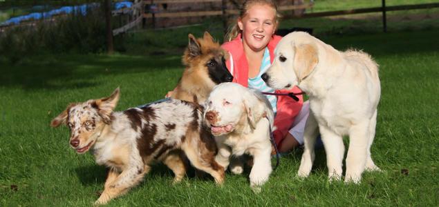 Australian shepherd, Tervueren, Clumber spaniel og Golden retriever valper