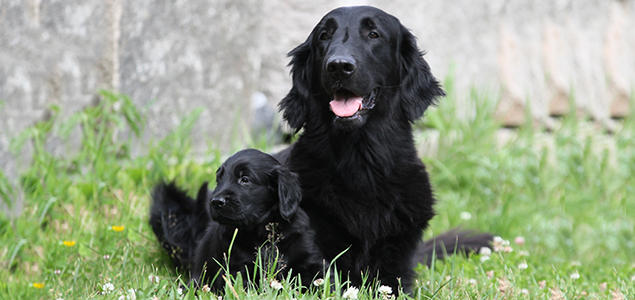 Flatcoated retriever og valp