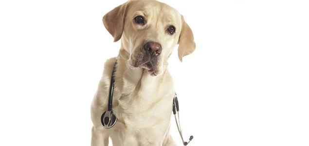 Labrador med stetoskop