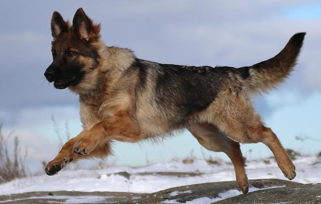 schäferhund langhår løper