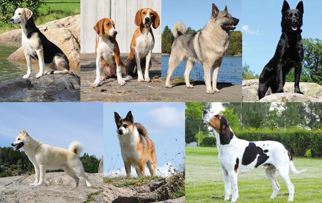 Alle de syv norske hunderasene