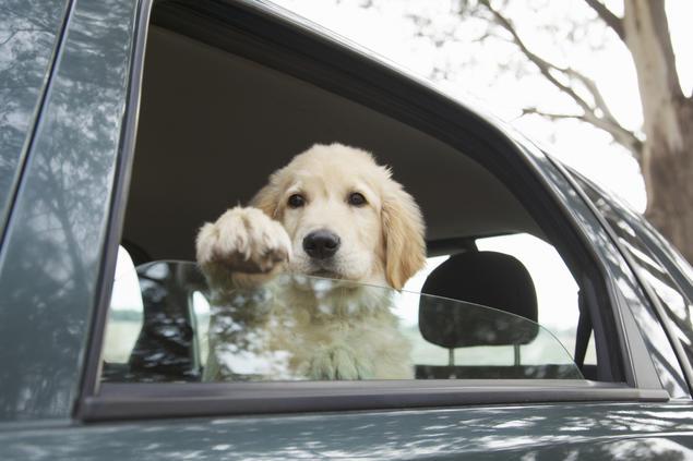 Golden retriever i bil. Foto: iStock