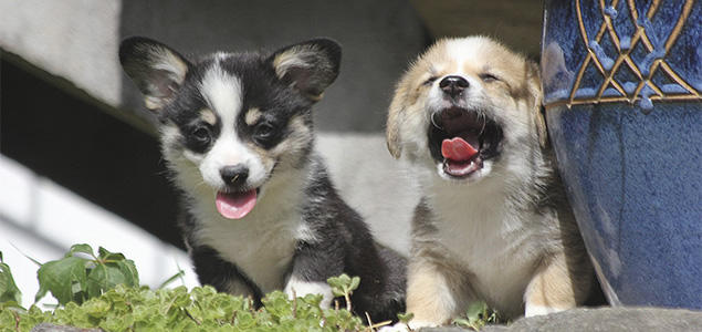Welsh corgi valpe