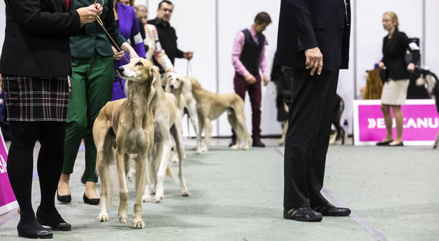 saluki dogs4all norsk kennel klubb