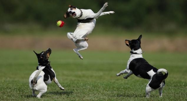hunder og ball, stillingsannonse
