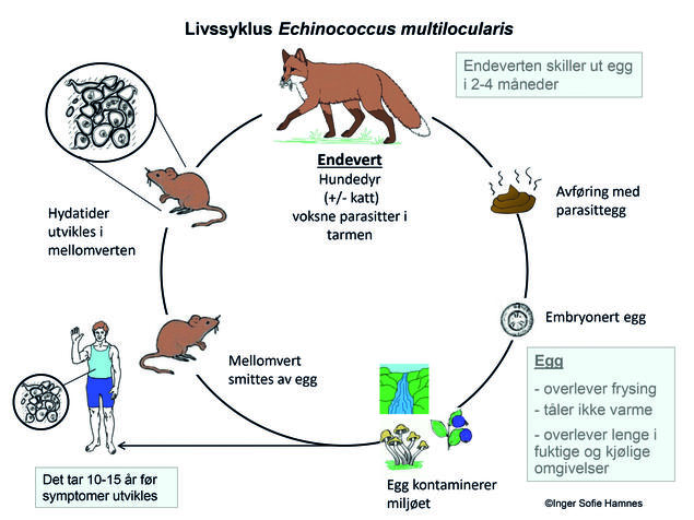 Livssyklus echinococcus multilocularis/revens dvergbendelorm. Illustrasjon: Inger S. Hamnes