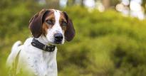 Haldenstøver Norsk Kennel Klub