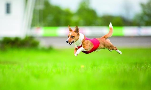 Podengo portuguese pequeno. Hvordan ta gode hundebilder. Jo kortere lukkertid, jo større sjanse er det for å fange bevegelser uten uskaphet i bildet
