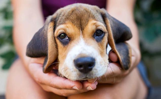beagle valp nkk
