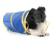 shetland sheepdog, nkk, norsk kennel klub, valp