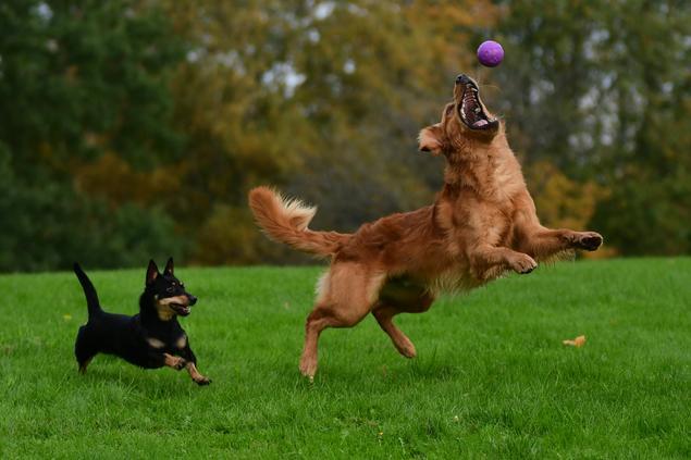 Hunder som leker norsk kennel klub