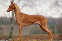 faraohund kjøpehund.no