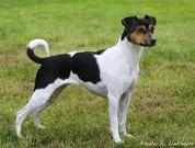 Brasiliansk terrier, nkk, kjøpehund.no