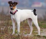 Brasiliansk terrier, norsk kennel klub, kjøpehund.no, norsk terrier klubb