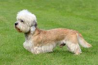 Dandie dinmont terrier, kjøpehund.no, norsk kennel klub