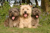 Irish glen of imaal terrier, kjøpehund.no, norsk kennel klub, norsk terrierklubb