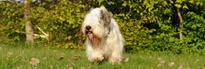 sealyham terrier, norsk kennel klub, kjøpehund.no, norsk terrier klubb