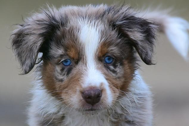 Australian Shepherd, Vibeke Brath