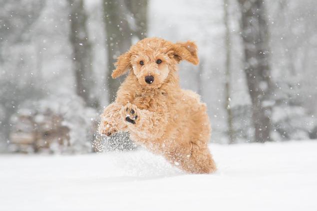 puddel valp som løper i snø