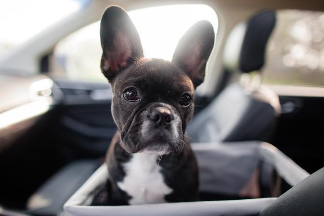 Fransk bulldogvalp i bil
