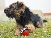 border terrier, nkk