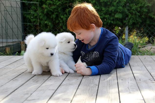 Samojedhundvalper sammen med et barn