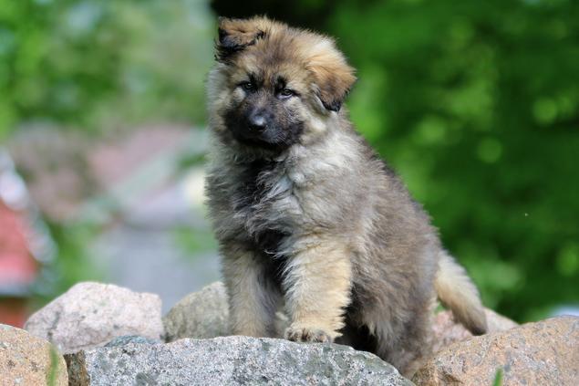 schæferhund valp