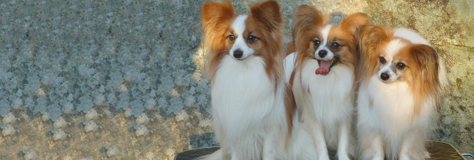 Papillon Norsk Kennel Klub